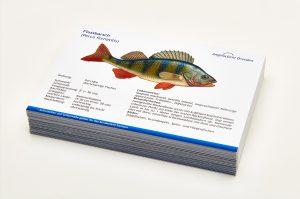Angelschein Dresden Fisch Lernkarten Lexikon Flussbarsch