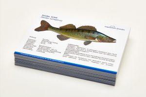Angelschein Dresden Fisch Lernkarten Lexikon Zander