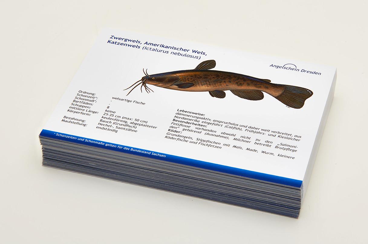 Angelschein Dresden Fisch Lernkarten Lexikon Zwergwels